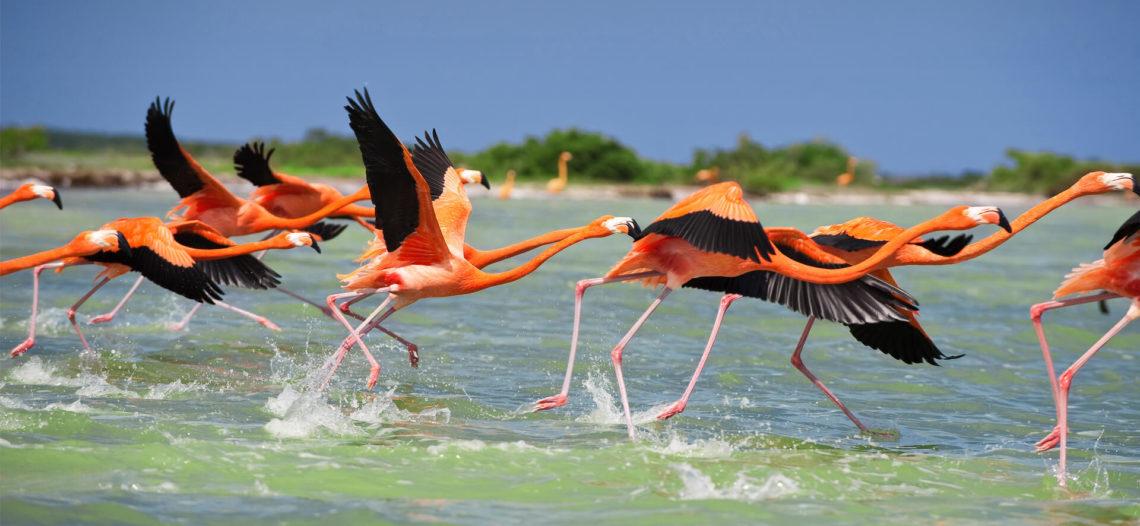 Realizan con éxito anillamiento de 393 flamingos en Yucatán